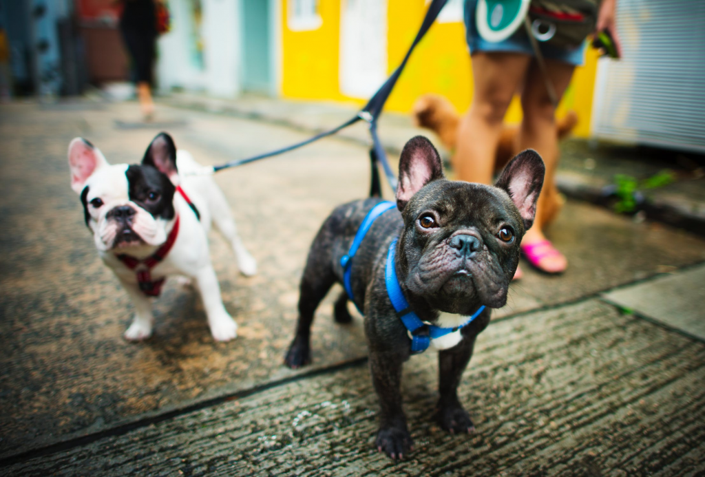 pet french bulldogs walking